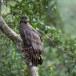 Indische-slangenarend-Crested-Serpent-Eagle-01