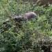 Indische-slangenarend-Crested-Serpent-Eagle-02