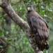 Indische-slangenarend-Crested-Serpent-Eagle-04