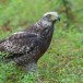 Indische-slangenarend-Crested-Serpent-Eagle-05