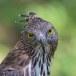 Indische-slangenarend-Crested-Serpent-Eagle-07