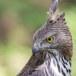 Indische-slangenarend-Crested-Serpent-Eagle-08