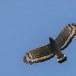 Indische-slangenarend-Crested-Serpent-Eagle-10
