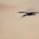 Indische-witte-ibis-Black-headed-ibis-03