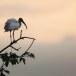 Indische-witte-ibis-Black-headed-ibis-04