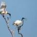 Indische-witte-ibis-Black-headed-ibis-06