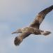 jan-van-gent-northern-gannet-10