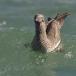 jan-van-gent-northern-gannet-15
