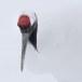 Japanse kraanvogel - Red-crwoned crane 02