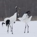 Japanse kraanvogel - Red-crwoned crane 04