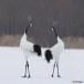 Japanse kraanvogel - Red-crwoned crane 05