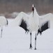 Japanse kraanvogel - Red-crwoned crane 06