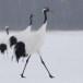 Japanse kraanvogel - Red-crwoned crane 07