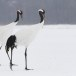 Japanse kraanvogel - Red-crwoned crane 08