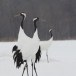 Japanse kraanvogel - Red-crwoned crane 15