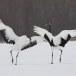 Japanse kraanvogel - Red-crwoned crane 16