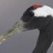 Japanse kraanvogel - Red-crwoned crane 19