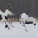 Japanse kraanvogel - Red-crwoned crane 21