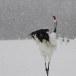 Japanse kraanvogel - Red-crwoned crane 22