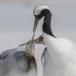 Japanse kraanvogel - Red-crwoned crane 25