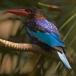 javaanse-ijsvogel-javan-kingfisher-01