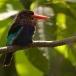javaanse-ijsvogel-javan-kingfisher-03