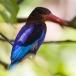 javaanse-ijsvogel-javan-kingfisher-04