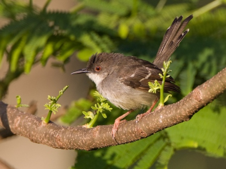 javaanse-prinia-bar-winged-prinia-01