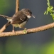 Javaanse Prinia – Bar-winged Prinia