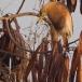 javaanse-ralreiger-javan-pond-heron-02