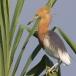 javaanse-ralreiger-javan-pond-heron-05