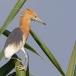 javaanse-ralreiger-javan-pond-heron-06