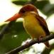 Jungle dwergijsvogel – Oriental Dwarfkingfisher