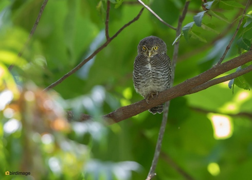 Jungledwerguil-Jungle-owlet-02