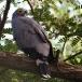 kaalkopkiekendief-african-harrier-hawk-12