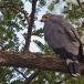 kaalkopkiekendief-african-harrier-hawk-13