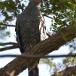 kaalkopkiekendief-african-harrier-hawk-14