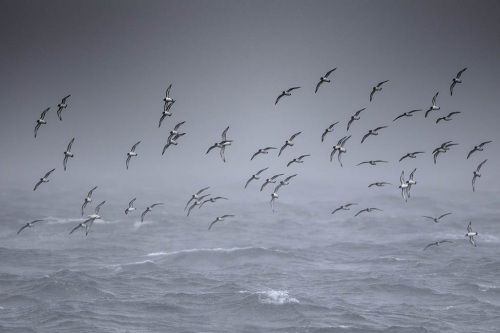 Kaapse Stormvogel_Cape Petrel 01