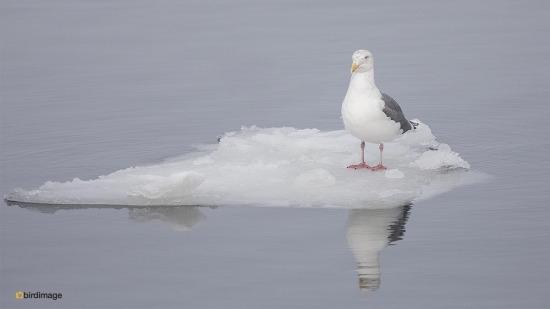 Kamtsjatkameeuw - Slaty-backed gull 02
