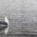 Kamtsjatkameeuw - Slaty-backed gull 01