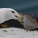 Kamtsjatkameeuw - Slaty-backed gull 03