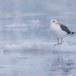 Kamtsjatkameeuw - Slaty-backed gull 04