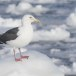 Kamtsjatkameeuw - Slaty-backed gull 09