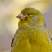 Kanarie – Common Canary