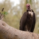 kapgier-hooded-vulture-04