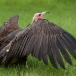 kapgier-hooded-vulture-05