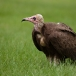kapgier-hooded-vulture-06