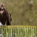 kapgier-hooded-vulture-07