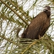 kapgier-hooded-vulture-10