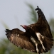 kapgier-hooded-vulture-13